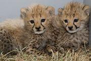 гепард,  белый лев,  бенгальский тигр,  Серваль и Саванна котята доступны