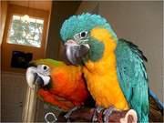 Hдома,  поднятые и зарегистрирован синих и золотых попугаи ара для прод