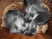 Продаются декоративные карликовые кролики - вислоухие барашки