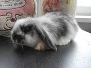 Продаётся кролик - карликовый вислоухий барашек
