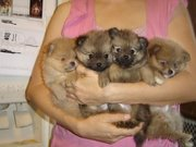 Красивые щенки Померанский бесплатно в любом любви и заботы дома